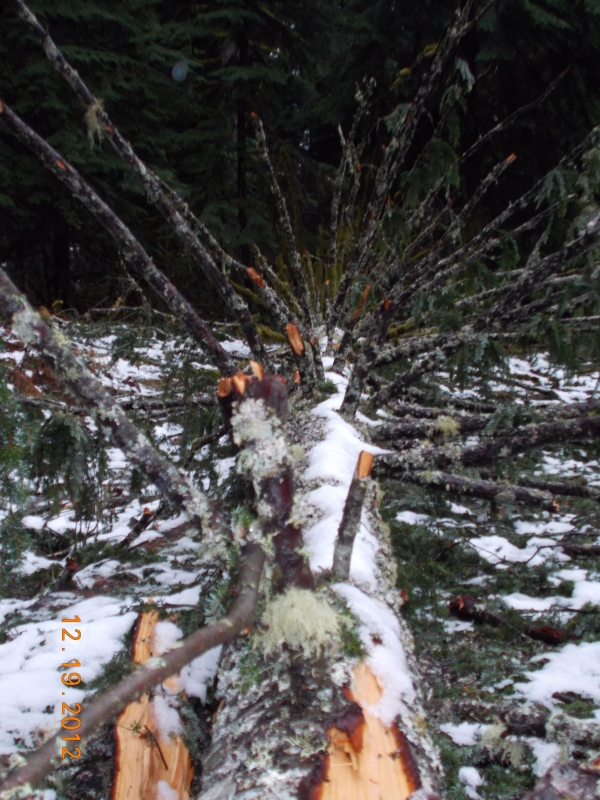 Winter tree fall at camp