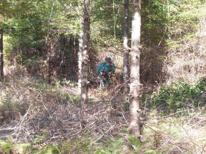 Larry was removing alder from the Douglas Fir plantation.
